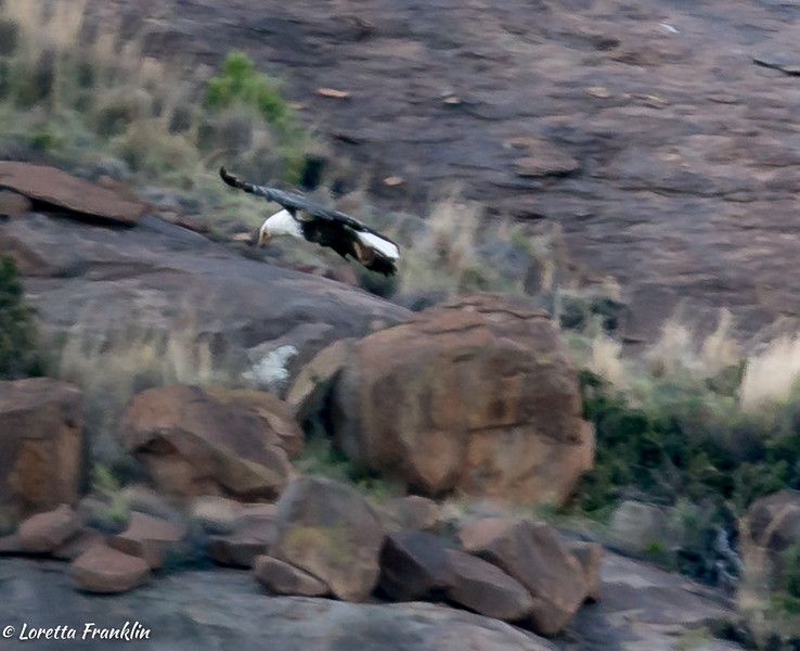 African Fish Eagle-1-1