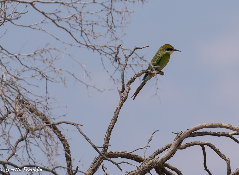 Swallow Tailed Bee Eater-2016-2