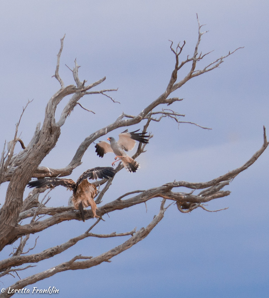 Tawny Eagle and Pale Chanting Goshawk-2