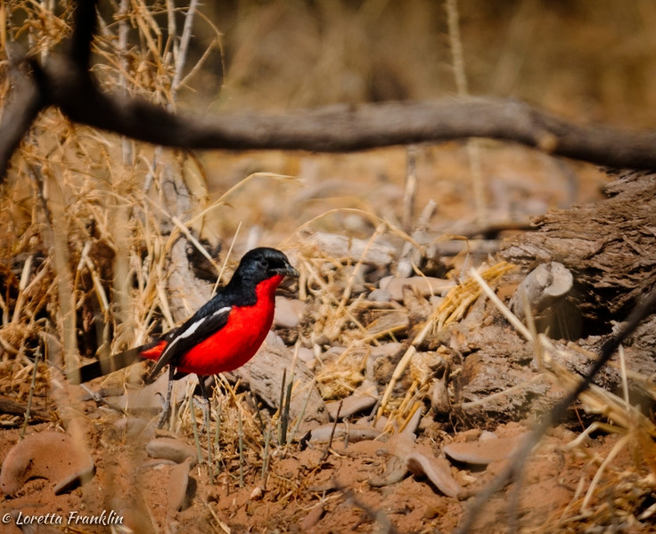Crimson Breasted Shrike-1