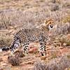 cheetah_2016-44-Edit copy