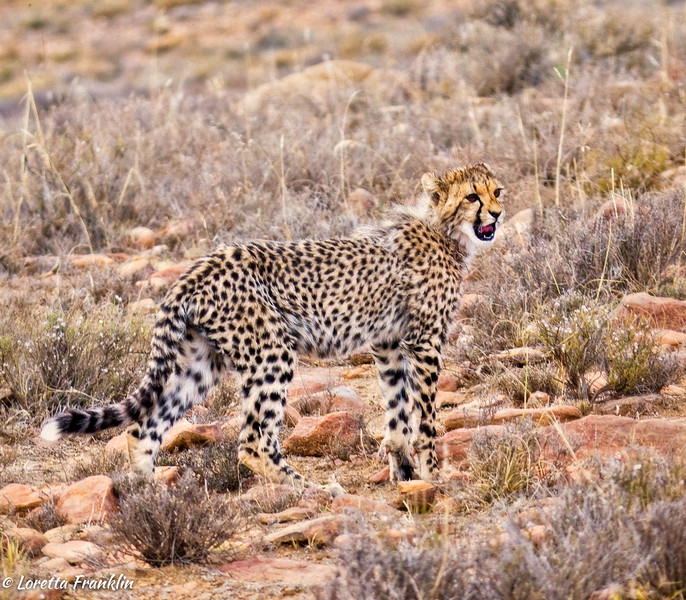 cheetah_2016-44-Edit copy