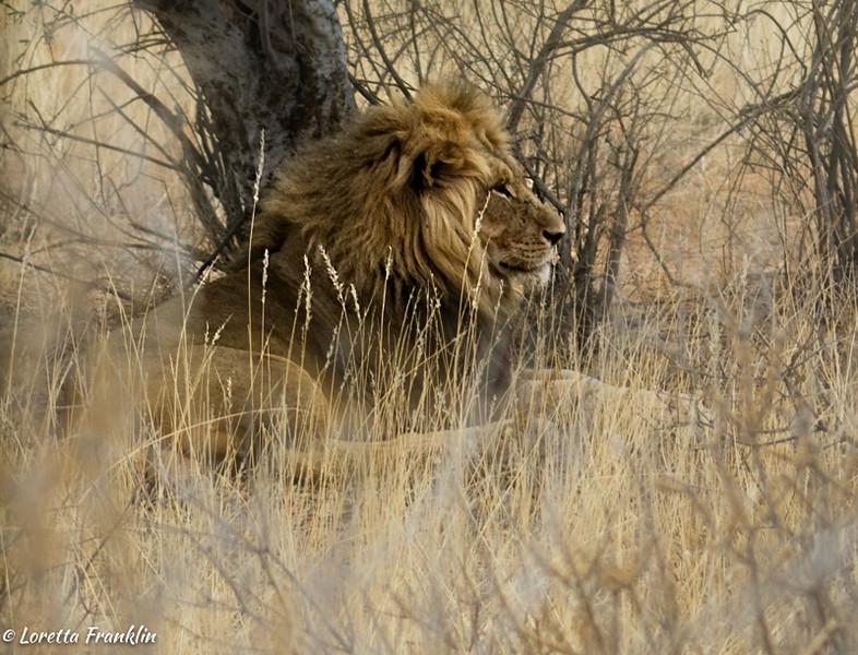 Male Lion-4
