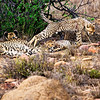 cheetah_2016-45 copy