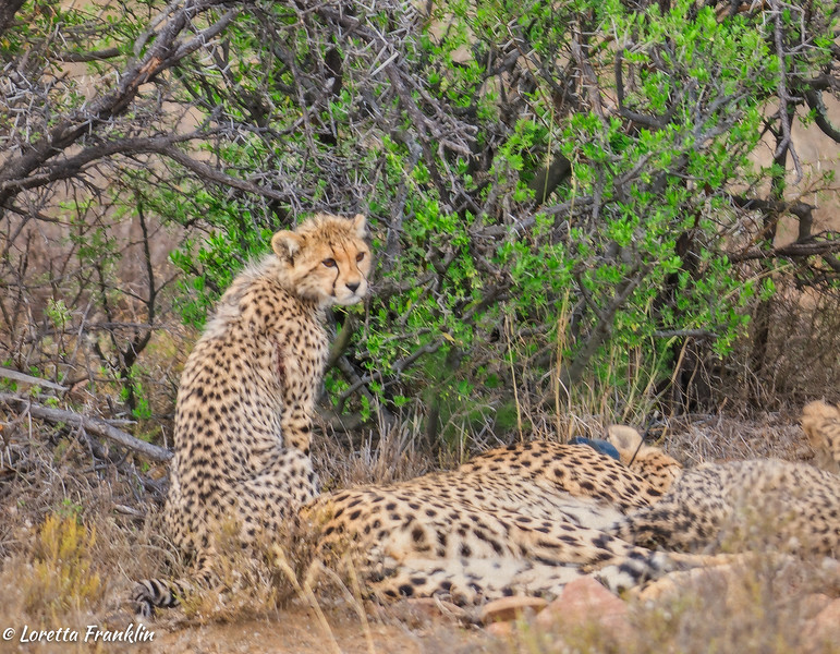 cheetah_2016-42-Edit copy