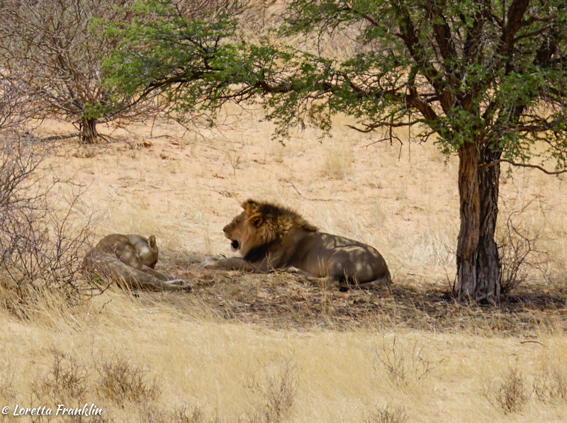 Male and Female Lions-1