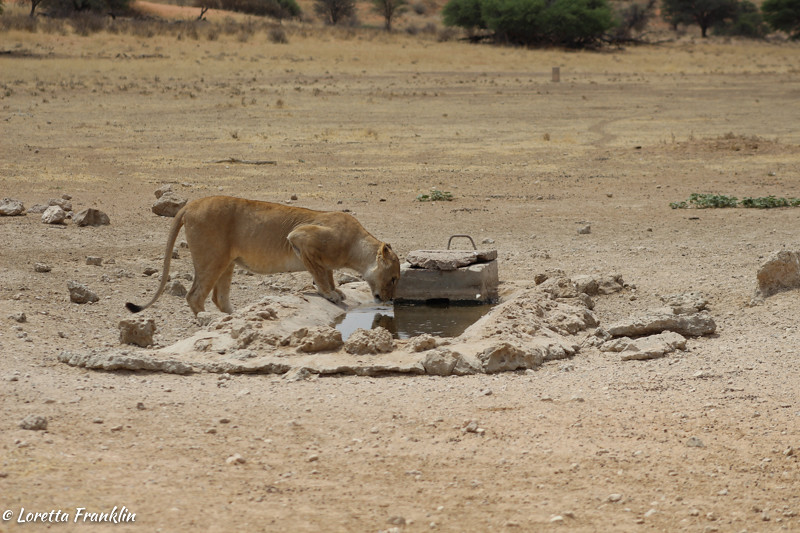 Female lion having a sip after mating.