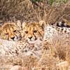 cheetah_2016-35-Edit copy