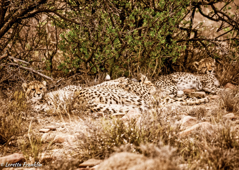 cheetah_2016-51-Edit copy