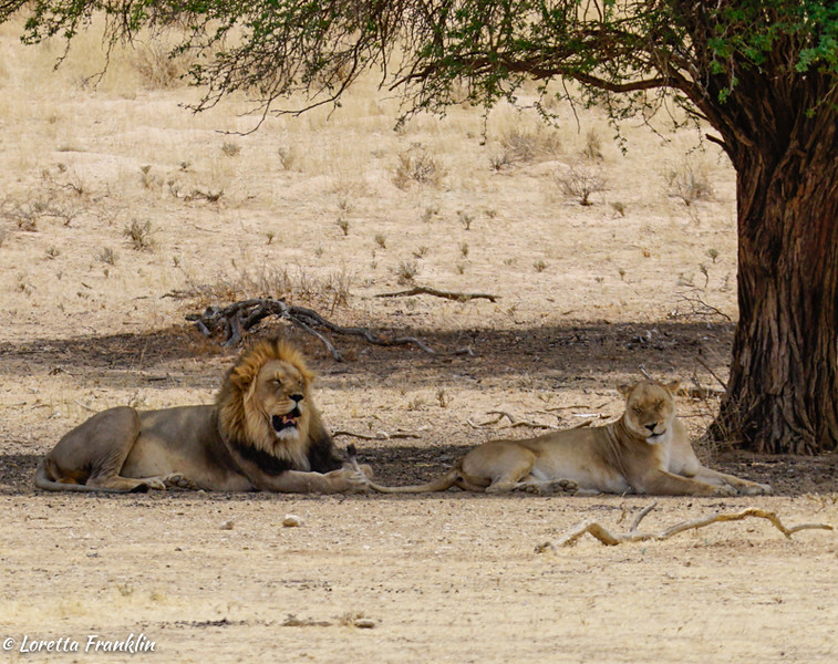 Male and Female Lions-3