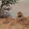 Male Lion-1 copy