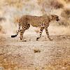 Cheetah-2016-89-Edit copy