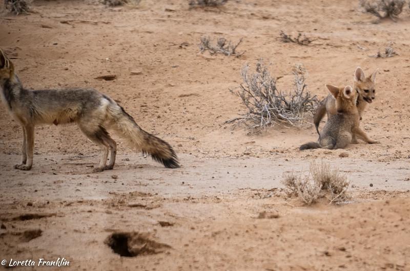 Cape Fox-4
