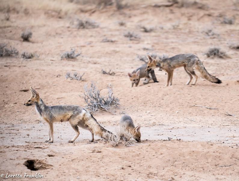 Cape Fox-20