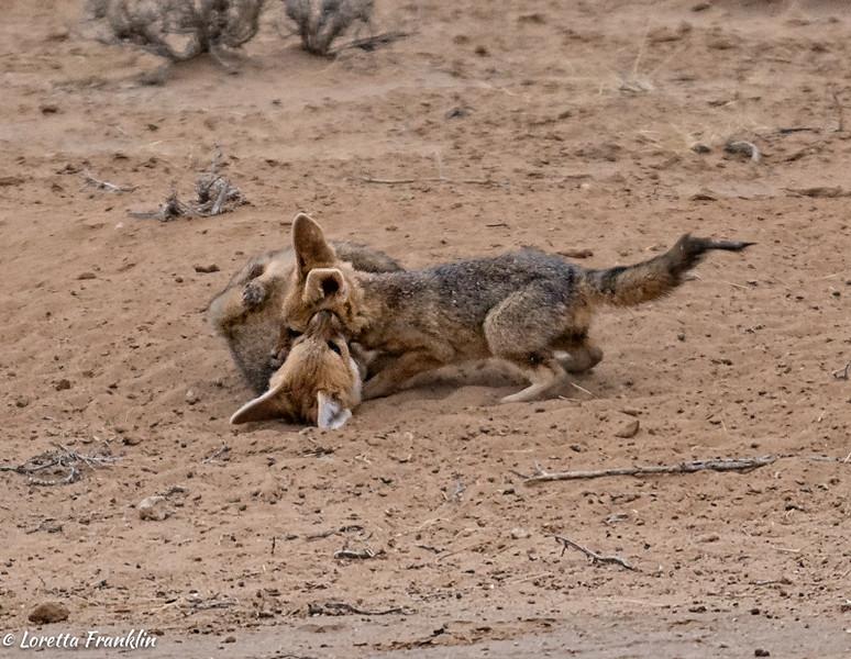 Cape Fox-7