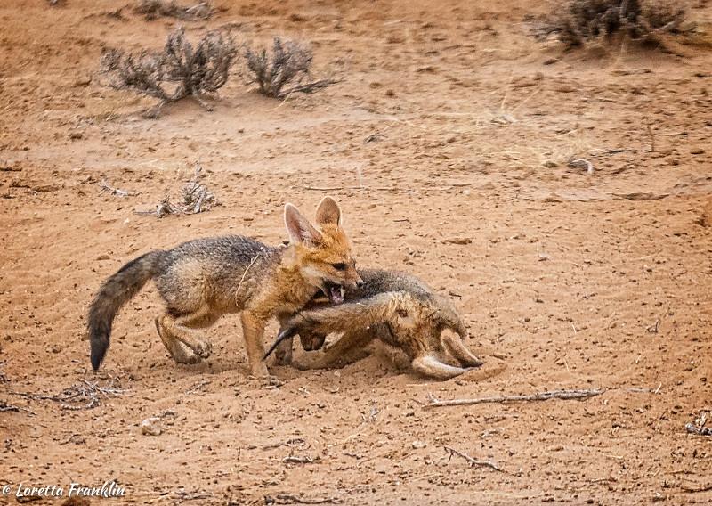 Cape Fox-6