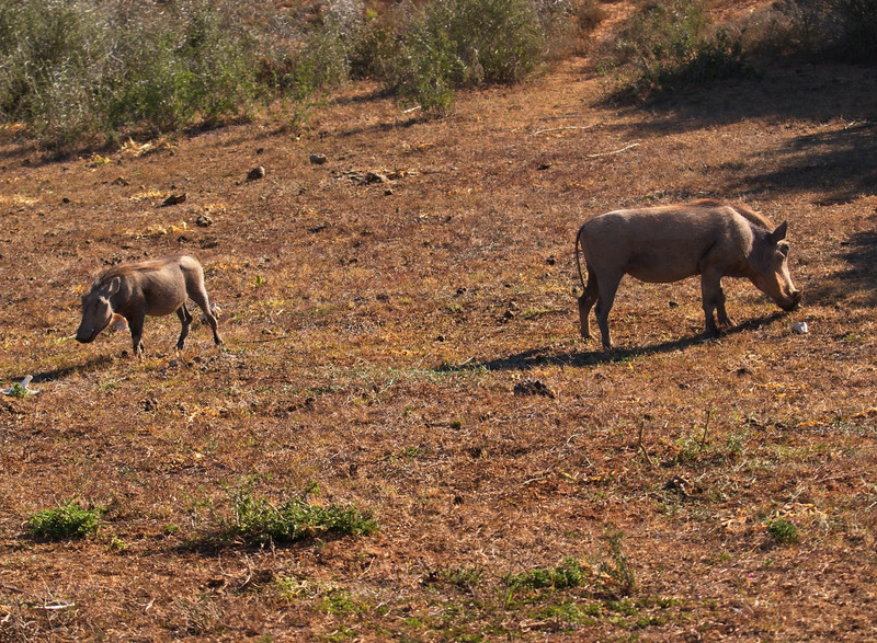 Male and Female Warthog