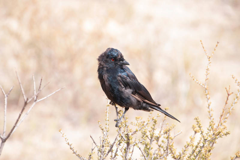 Drongo March 2012-1