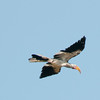 HornbillFlying100