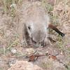 RT_pup_catches_poor_bird_Mar_16_092312