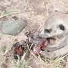 RT_pup_catches_poor_bird_Mar_16_091349