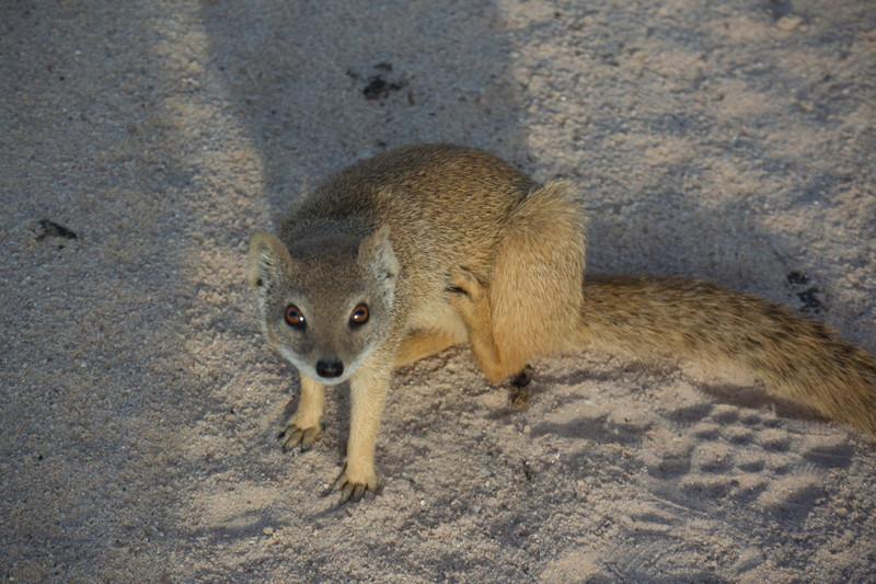 Yellow Mongoose-14