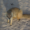 Yellow Mongoose-14