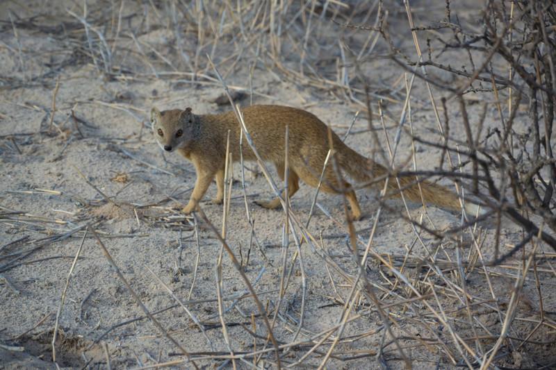 Yellow Mongoose-16