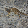 Yellow Mongoose-16
