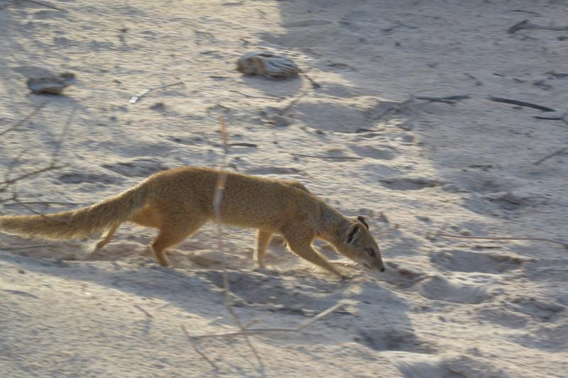Yellow Mongoose-13