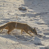 Yellow Mongoose-13