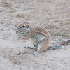 Heather's Ground Squirrels-9