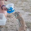 Heather's Ground Squirrels-5