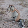Heather's Ground Squirrels-10