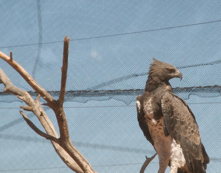 Martial Eagle_02