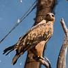 Tawny Eagle_15