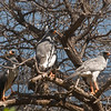 Pale Chanting Goshawk_06