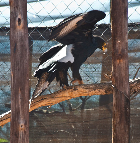 Black Eagle_06