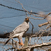 Pale Chanting Goshawk_03