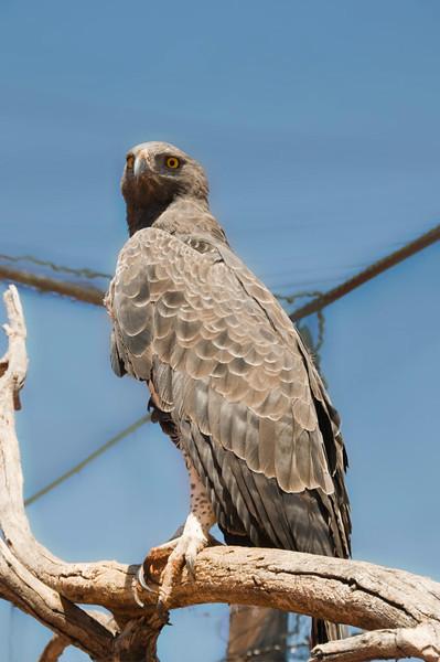 Martial Eagle_09