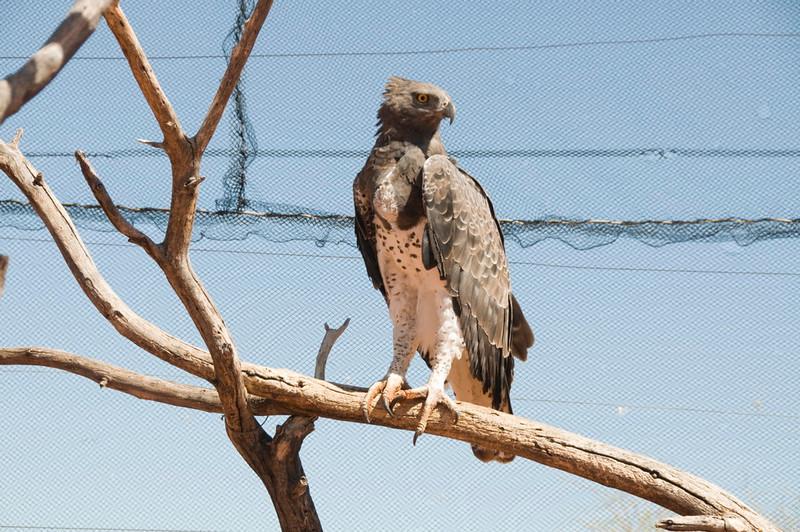 Martial Eagle_06