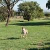 Cheetah_Run_03_24_082038-3