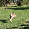 Cheetah_Run_03_24_082038-4