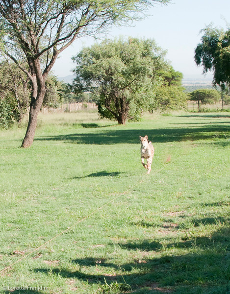Cheetah_Run_03_24_082038-1