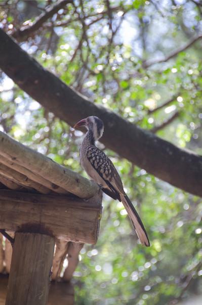 Hornbill_05