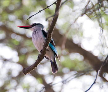 WoodlandKingfisher_04