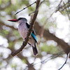 WoodlandKingfisher_04