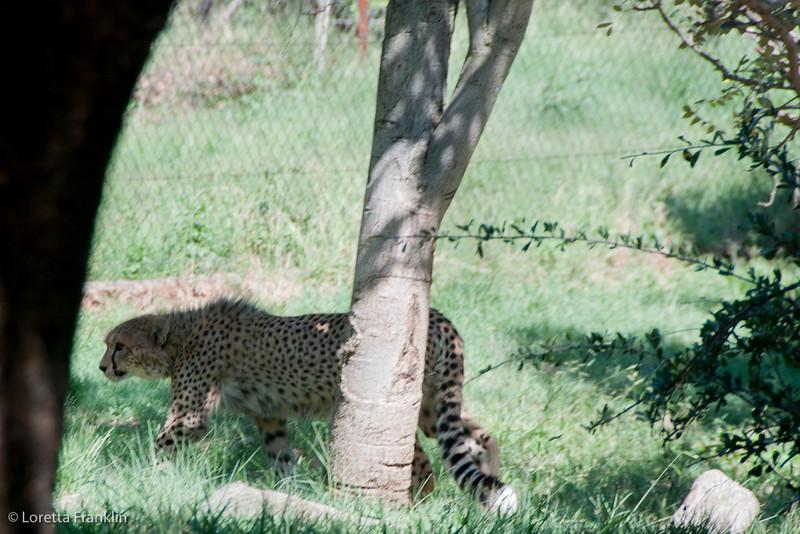 Van_Dyk_Cheetah_Reserve_03_23_142759