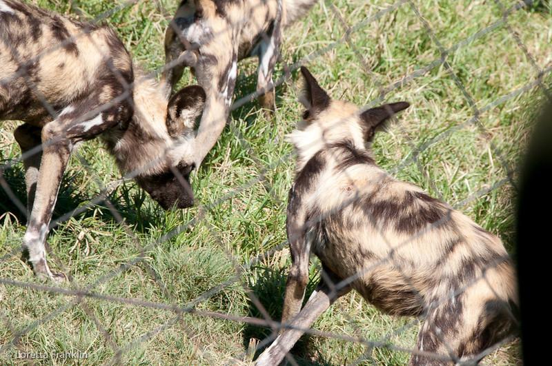 Van_Dyk_Cheetah_Reserve_03_23_151736