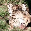 Van_Dyk_Cheetah_Reserve_03_23_155059